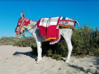 Tourist donkey dressed