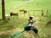Jugando con vacas