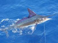 Marlin nell'amo