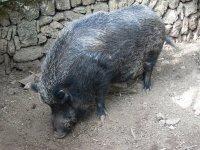 our wild boar