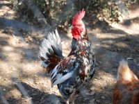 The rooster of the corral