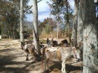 Donkeys among the trees