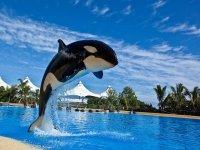 Orca jumping