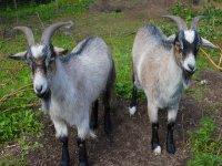Nuestras cabras
