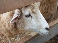 Pequeños corderos