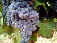 Las uvas en la vid