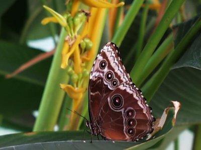Monarca Butterfly Fram
