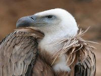 Blancafort. Vulture