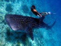 冒险潜水鲸鲨