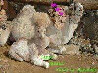camello con cria de una semana