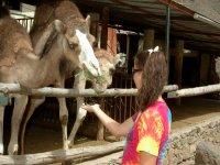 camellos comiendo