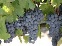 Meet the vines