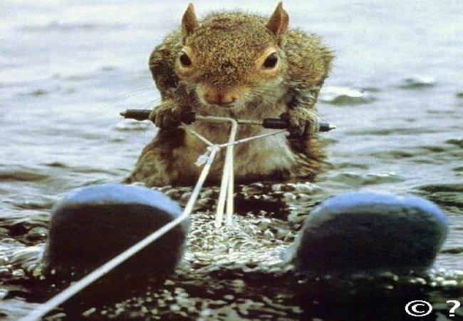 Una ardilla haciendo esquí acuático!!