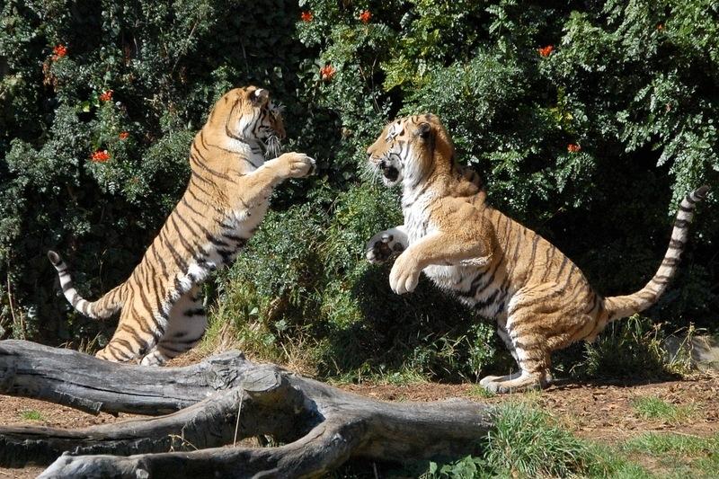 En el zoo de madrid hay tigres?